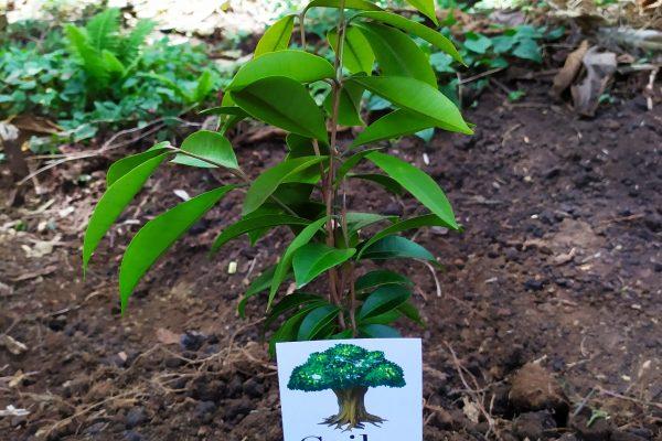 Plantando arboles